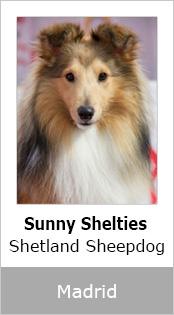 Sunny Sheltie